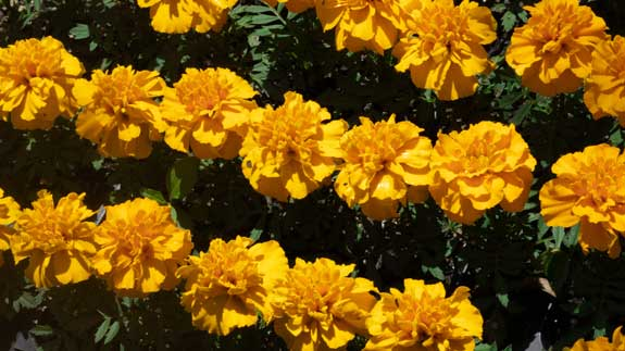 Lines of honey yellow marigold flowers blooming in the summer sun.