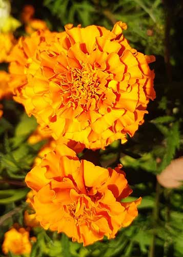 A close-up of honey yellow marigold blooms in the setting sun